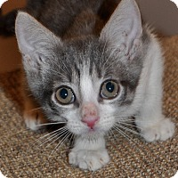 Adopt A Pet :: Kitten C - La Canada Flintridge, CA