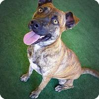 Cattle Dog Mix Dog for adoption in Casa Grande, Arizona - Izzy Lizzy