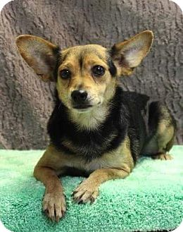 Chihuahua Mix Dog for adoption in Baltimore, Maryland - Chico