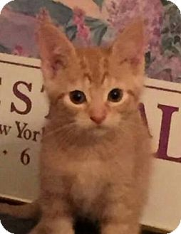 Domestic Shorthair Cat for adoption in Walworth, New York - Tailz