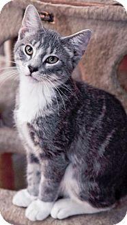 Domestic Shorthair Cat for adoption in Louisiana, Missouri - Gabriel