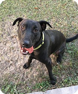 Labrador Retriever Mix Dog for adoption in Gainesville, Florida - Duke