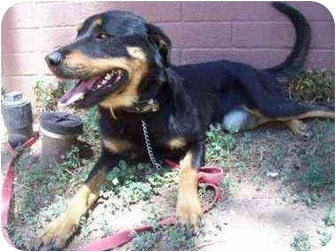 Rottweiler/Shepherd (Unknown Type) Mix Dog for adoption in Phoenix, Arizona - Jessie