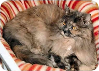 Domestic Longhair Cat for adoption in Cleveland, Ohio - Fran
