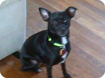 Chihuahua/Fox Terrier (Toy) Mix Dog for adoption in South Amboy, New Jersey - Gator