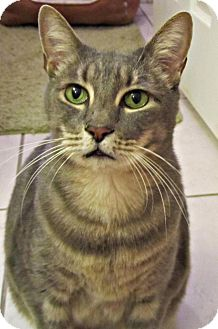Domestic Shorthair Cat for adoption in Seminole, Florida - Finn McCool