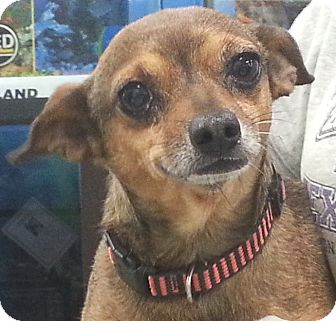 Chihuahua Mix Dog for adoption in Orlando, Florida - Miller
