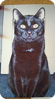 Domestic Shorthair Cat for adoption in East Stroudsburg, Pennsylvania - Sir Walter~Courtesy