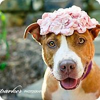 Adopt A Pet :: Paddy-Courtesy Post - Alpharetta, GA