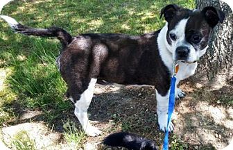 Boston Terrier Mix Dog for adoption in Providence, Rhode Island - Lowbo in New England $199