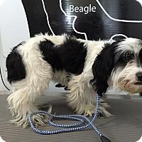 Adopt A Pet :: Angeni - Lewisburg, TN