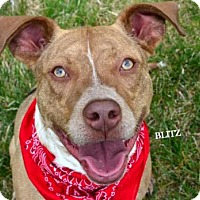 Adopt A Pet :: Blitz - Independence, MO