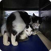 Domestic Mediumhair Cat for adoption in Wyandotte, Michigan - Ani & Alex