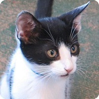 Domestic Shorthair Kitten for adoption in Gonzales, Texas - Toddy