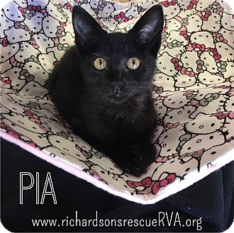 Domestic Shorthair Kitten for adoption in Richmond, Virginia - Pia