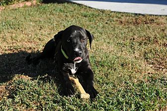 Labrador Retriever/Catahoula Leopard Dog Mix Dog for adoption in SOUTHINGTON, Connecticut - Smokey