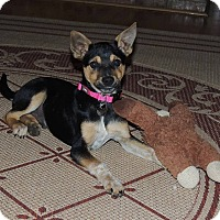 Miniature Pinscher/Terrier (Unknown Type, Small) Mix Puppy for adoption in Buford, Georgia - Chester