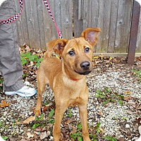 Hound (Unknown Type)/Labrador Retriever Mix Puppy for adoption in St John, Indiana - Wanda