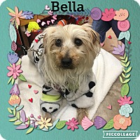 Yorkie, Yorkshire Terrier/Maltese Mix Dog for adoption in Jackson, New Jersey - Bella
