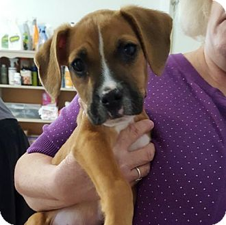 Boxer Mix Puppy for adoption in Helotes, Texas - Jaime