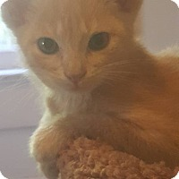 Domestic Shorthair Kitten for adoption in Griffin, Georgia - Creed