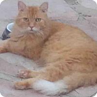 Adopt A Pet :: TIGER - San Antonio, TX