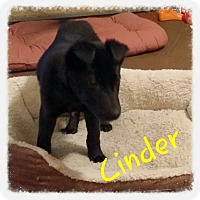 Adopt A Pet :: Cinder (DC) - Allentown, PA