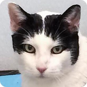 Domestic Shorthair Cat for adoption in Prescott, Arizona - Ethan
