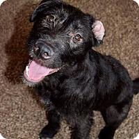 Terrier (Unknown Type, Medium)/German Wirehaired Pointer Mix Puppy for adoption in Aurora, Ohio - Sapphire
