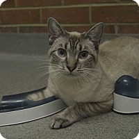 Domestic Shorthair Kitten for adoption in Germantown, Tennessee - Lincoln