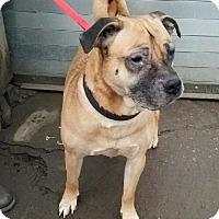 Adopt A Pet :: Angel - Bronx, NY