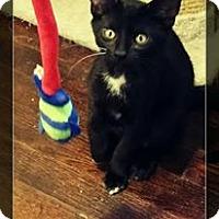 Adopt A Pet :: Toes - Warren, MI