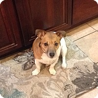 Jack Russell Terrier Mix Dog for adoption in Blue Bell, Pennsylvania - Odie