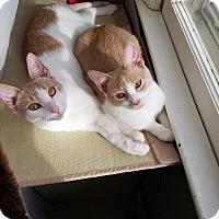Domestic Shorthair Cat for adoption in Overland Park, Kansas - Mozart