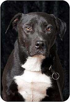 Labrador Retriever Mix Dog for adoption in Polson, Montana - Nox
