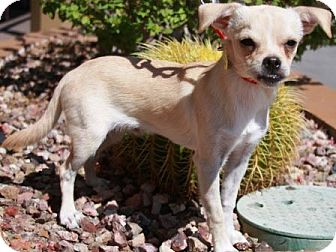 Pug/Chihuahua Mix Dog for adoption in Gilbert, Arizona - Derrek