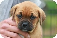 Boxer Mix Puppy for adoption in Russellville, Kentucky - Auburn