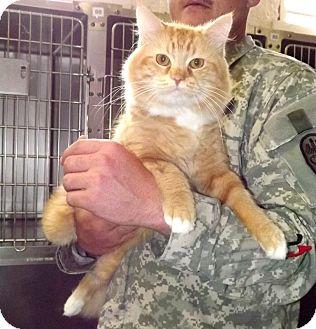 Domestic Longhair Cat for adoption in Fort Riley, Kansas - Benson