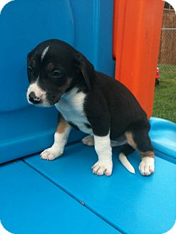 Hound (Unknown Type) Mix Puppy for adoption in Linton, Indiana - Ty