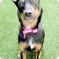 Adopt A Pet :: Bella Urgent needs foster - Sacramento, CA