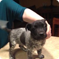 Adopt A Pet :: Border Collie/Lab Mix Puppies! - Kirkland, WA