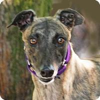 Adopt A Pet :: Trea - Ware, MA