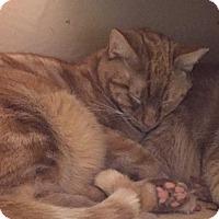 Adopt A Pet :: Andrew (the Gentle Giant) - Fairfax, VA