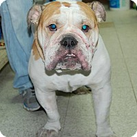 Adopt A Pet :: Hulk - Brooklyn, NY