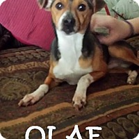 Adopt A Pet :: OLAF - Chicagoland area, IL