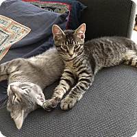 Adopt A Pet :: Nabi and Grigio - Chicago, IL