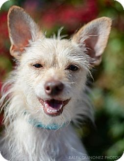 Terrier (Unknown Type, Small)/Dachshund Mix Dog for adoption in Encino, California - Knuckles