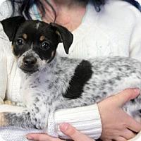 Adopt A Pet :: Polly - Harrison, NY