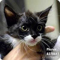 Domestic Mediumhair Kitten for adoption in Conroe, Texas - PHOTON