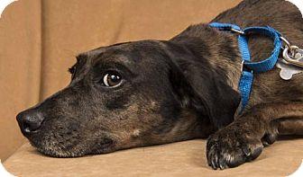 Catahoula Leopard Dog/Labrador Retriever Mix Dog for adoption in Davis, California - Luann